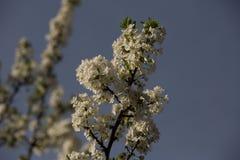 Pflaumenblüten und -pflaumen Lizenzfreies Stockfoto
