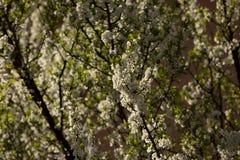 Pflaumenblüten und -pflaumen Stockbilder