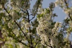 Pflaumenblüten und -pflaumen Lizenzfreie Stockfotografie