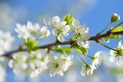 Pflaumenblütennahaufnahme auf Hintergrund des blauen Himmels am sonnigen Tag Stockbild
