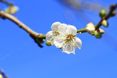 Pflaumenblume unter dem blauen Himmel, Taiwan Stockfotos