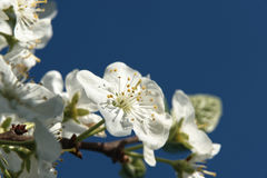 Pflaumenblumenbaum im Garten Lizenzfreie Stockfotos