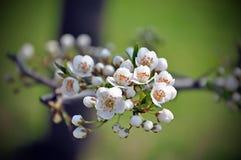 Pflaumenblumenbild Stockfotografie