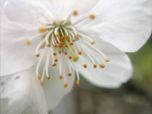 Pflaumenblumenmakro Lizenzfreie Stockbilder