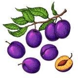 Pflaumenvektor-Zeichnungssatz Übergeben Sie gezogene Frucht, Niederlassung und geschnittene Torte Stockbilder