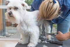 Pflegen der Hintertatze des weißen Hundes Stockbilder