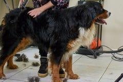 Pflegen des Bernen Sennenhunds Lizenzfreie Stockfotografie