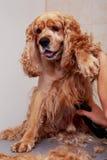 Pflegen des Haares des Hundes Stockfoto