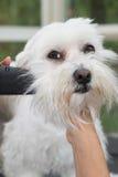 Pflegen des Kopfes der weißen Hundenahaufnahme Lizenzfreies Stockbild