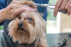 Pflegen des Kopfes der Yorkshire-Terriernahaufnahme stockbilder