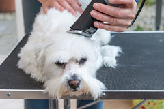 Pflegen des Kopfes des weißen Hundes Stockbild