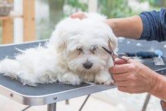 Pflegen des Kopfes des weißen Hundes lizenzfreie stockfotos