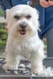 Pflegen des Kopfes des weißen Hundes vertikal Lizenzfreies Stockbild