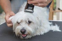 Pflegen des Kopfes des weißen maltesischen Hundes Lizenzfreie Stockfotografie