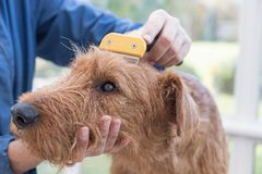 Pflegen des Kopfes von irischem Terrier stockfoto