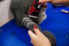 Pflegen einer Katze Lizenzfreies Stockbild