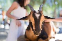 Pflegen einer Ziege Stockfotografie