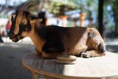 Pflegen einer Ziege Lizenzfreies Stockbild