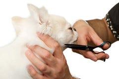 Pflegen eines Chihuahua-Hundes Stockbilder