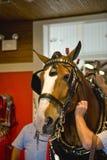 Pflegen eines Clydesdale Pferds Stockfotografie