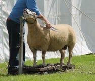 Pflegen eines Schafs Lizenzfreies Stockbild