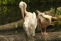 Pflegen mit zwei Flamingos Lizenzfreie Stockfotos