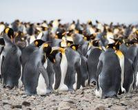 Pflegender König Penguins in einer großen Gruppe stockbild