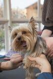 Pflegender Yorkshire-Terrier Stockfoto
