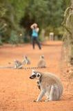 Pflegenmaki catta, Ring band den Maki an, fotografiert von einem Touristen Lizenzfreie Stockfotografie