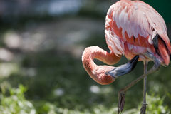 Pflegenrosafarbener Flamingo Stockfoto