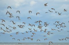 Pfuhlschnepfe bei Miranda Shorebird Centre lizenzfreie stockbilder