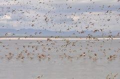 Pfuhlschnepfe bei Miranda Shorebird Centre stockfoto