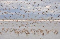 Pfuhlschnepfe bei Miranda Shorebird Centre lizenzfreie stockfotos