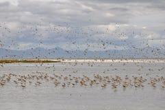 Pfuhlschnepfe bei Miranda Shorebird Centre lizenzfreies stockbild