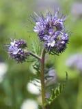 Phacelia在领域的tanacetifolia花 免版税库存图片