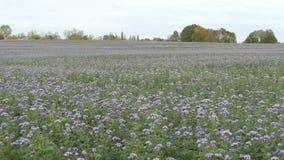 Phacelia的未腐烂之肥料领域在秋天时间的 亦称蝎子野草或向日葵 影视素材