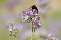 Phacelia花和蜂 免版税库存图片