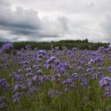 Phacelia για τις μέλισσες Στοκ εικόνες με δικαίωμα ελεύθερης χρήσης