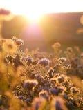 Phacelia στον ήλιο πρωινού στοκ εικόνες με δικαίωμα ελεύθερης χρήσης