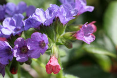 Phacelia. Flower is wildly growing plant Royalty Free Stock Photos