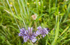 土蜂拜访的紫罗兰色开花的有花边的Phacelia 免版税库存照片