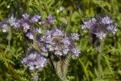 Phacelia azul Imagem de Stock Royalty Free