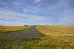 Phacelia and barley Stock Image