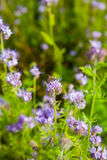 Phacelia. Bee and phacelia flowers: nectar rich flowers in a summer meadow Stock Photography