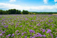 Phacelia, bee food, purple tansy, scorpionweed on summer fields Royalty Free Stock Photo