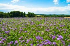 Phacelia, bee food, purple tansy, scorpionweed on summer fields royalty free stock photo