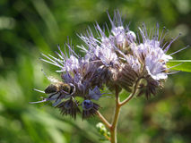Phacelia with bee. And partially unfolded flower\\r\\n Royalty Free Stock Photo