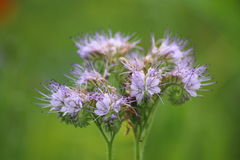 Phacelia, bee pasture Royalty Free Stock Images