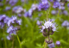 Phacelia and bee. In summer meadow Stock Image