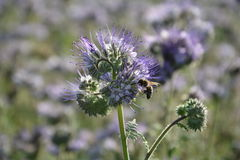 Phacelia  blossoms  on the field  in the back light  with bee. Phacelia  blossoms  on a  field            scorpionweed,  heliotrope , Boraginaceae Stock Photo